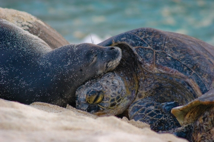 monk_seal_and_turtle_napping-mark_sullivan_med